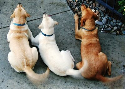 dogs, chunkshouse, chunkshouse.com, tail, dog tails