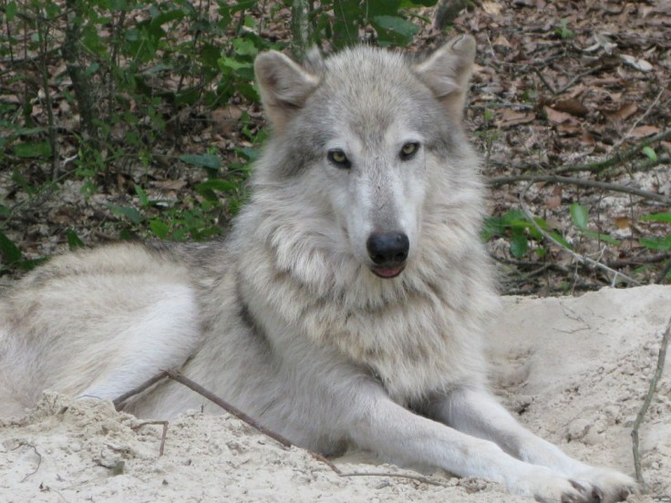 Wolf named Jordan